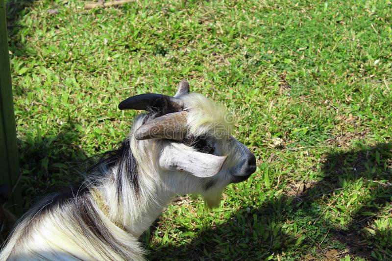 Goat laying in the grass alone stock image