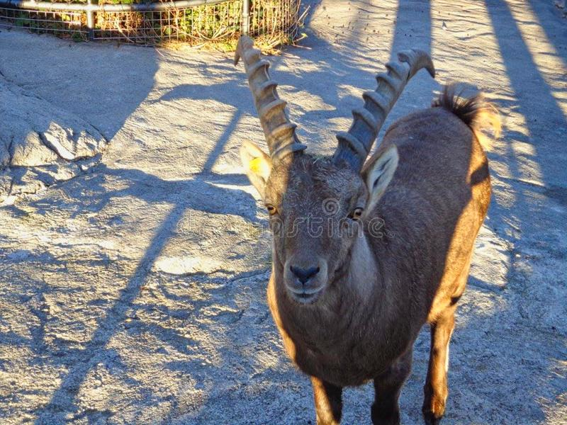 a goat is looiking in the camera royalty free stock photos