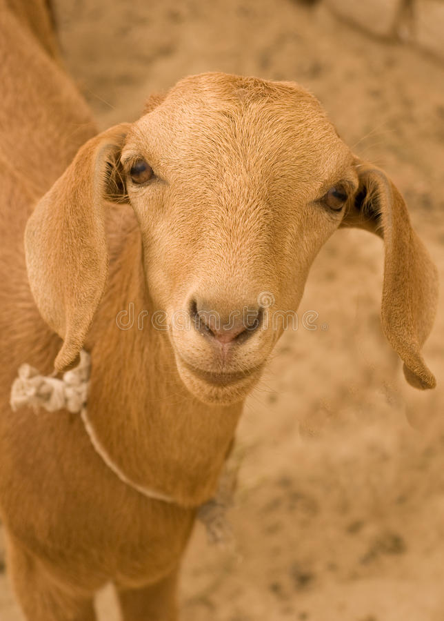 Goat looking into camera royalty free stock photography