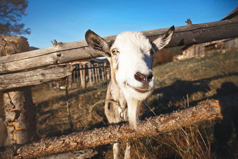 The goat looks out from behind a wooden fence. royalty free stock image