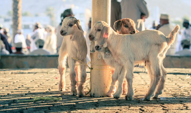 Goat market in Nizwa stock images