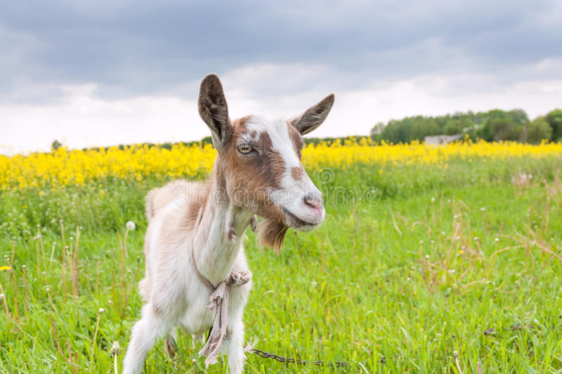 Goat on the meadow closeup royalty free stock photo