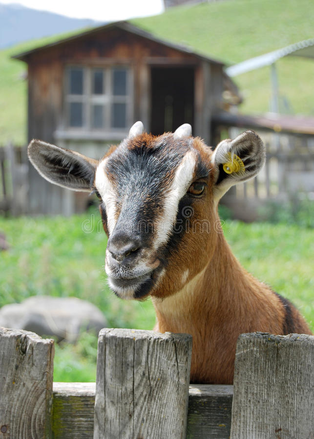 Download Goat In A Mountain Farm Stock Photo - Image: 16541960