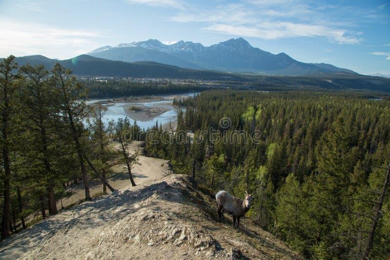Goat on mountainside stock image