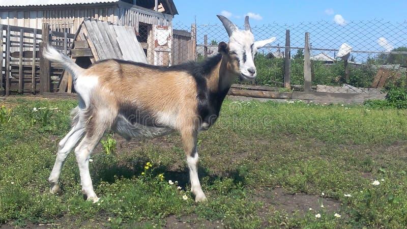 Goat named Borya royalty free stock photography