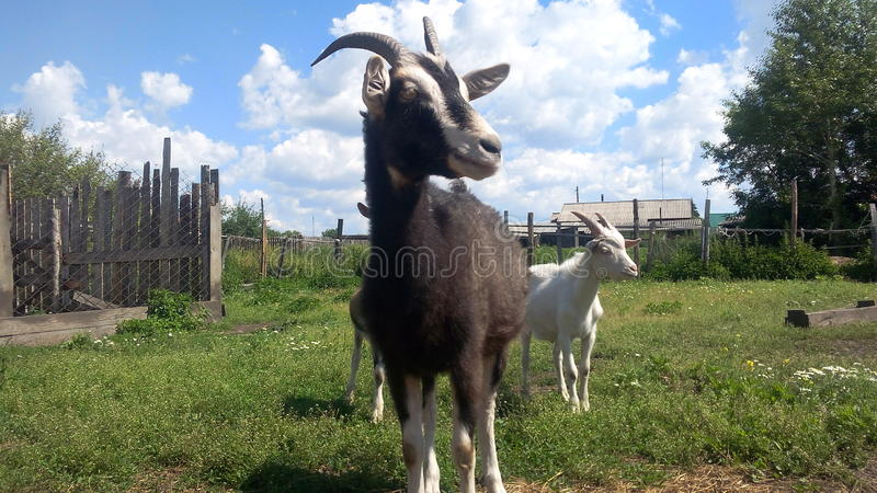 Goat named Katya royalty free stock photography