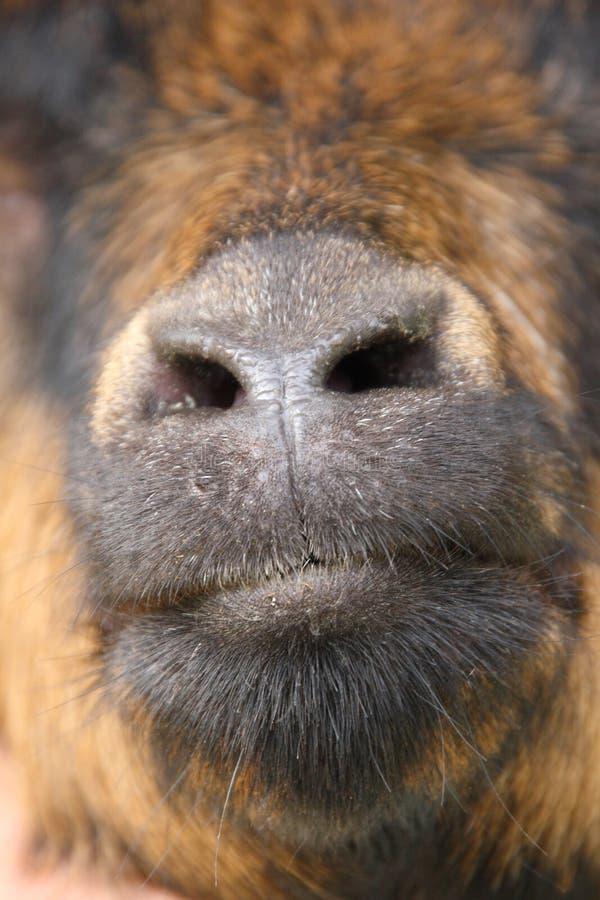 Goat& x27; naso e bocca di s fotografia stock