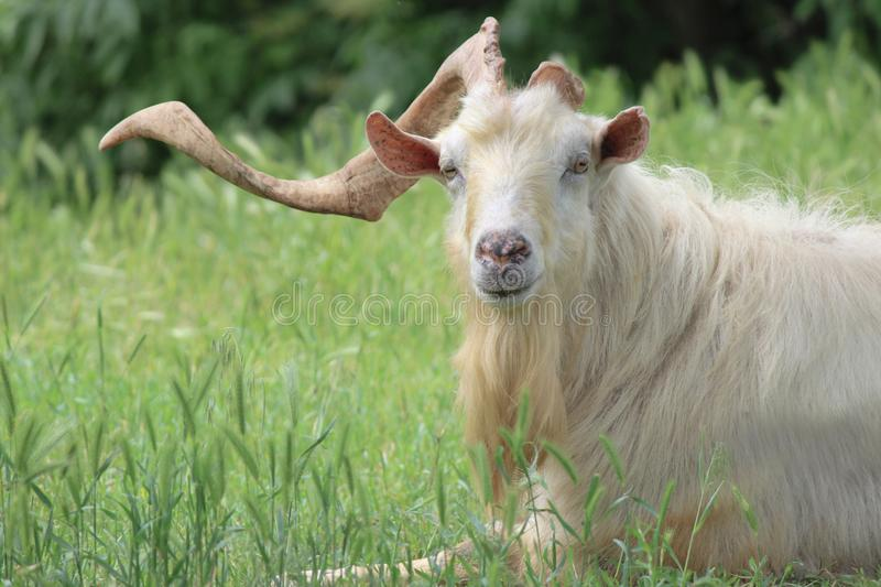 A goat with one horn royalty free stock photo