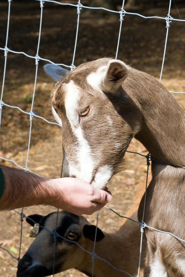 Download Goat Petting Zoo stock image. Image of recreation, activity - 15387829