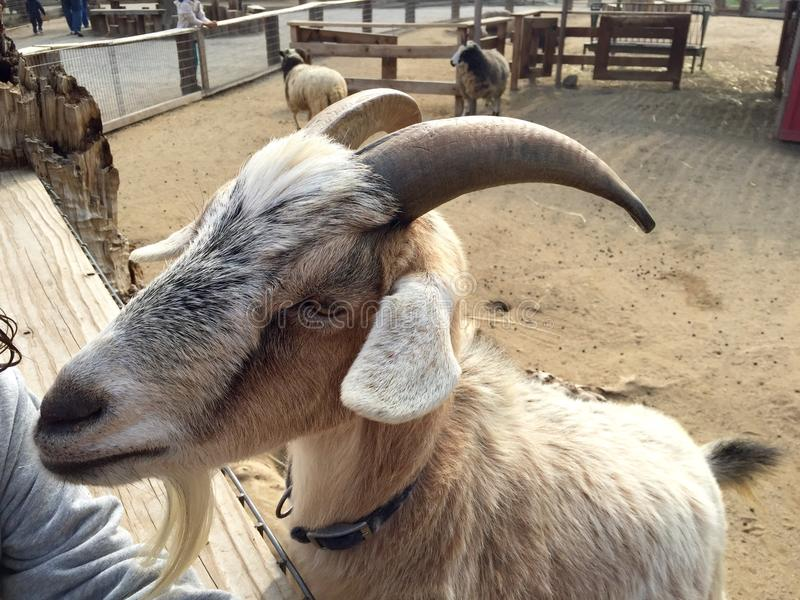 Goat at a petting zoo stock photography