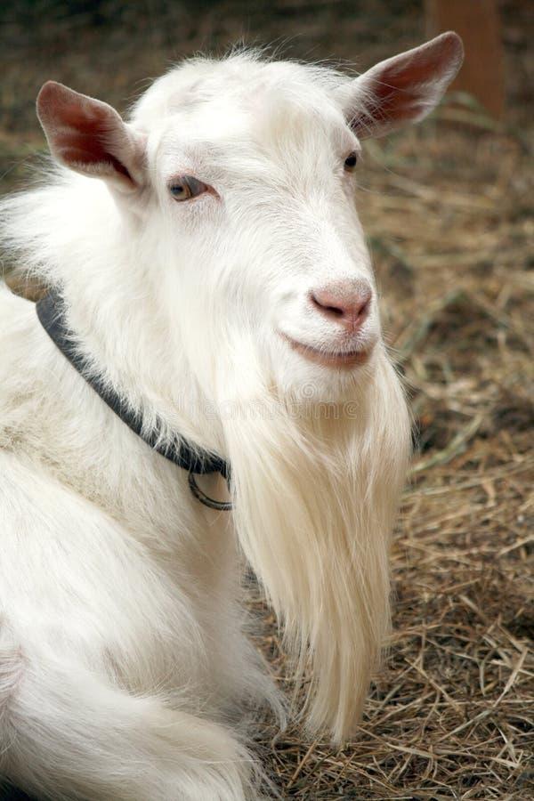 Free Goat Portrait Stock Image - 12978021