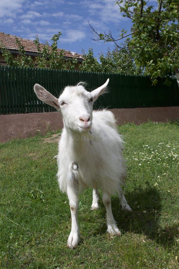 Free Goat Portrait Stock Photo - 14570330