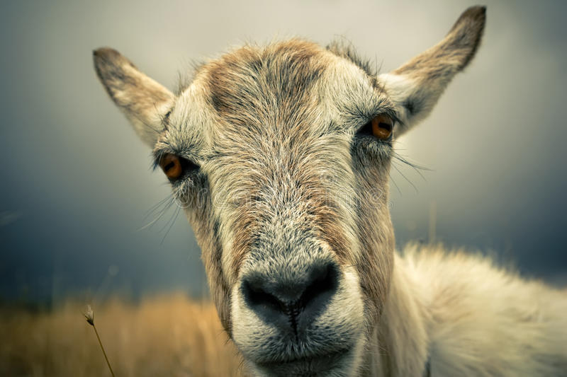 Download Goat portrait stock image. Image of goat, photography - 19084323