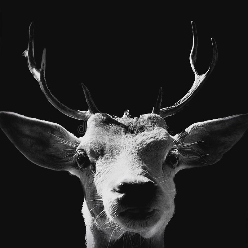 Goat portrait in black and white. stock photography
