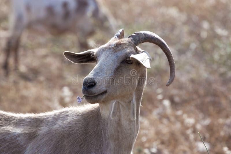 Goat portrait royalty free stock images