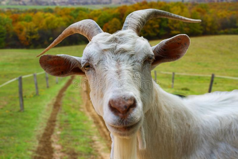 Goat portrait from the farm stock images