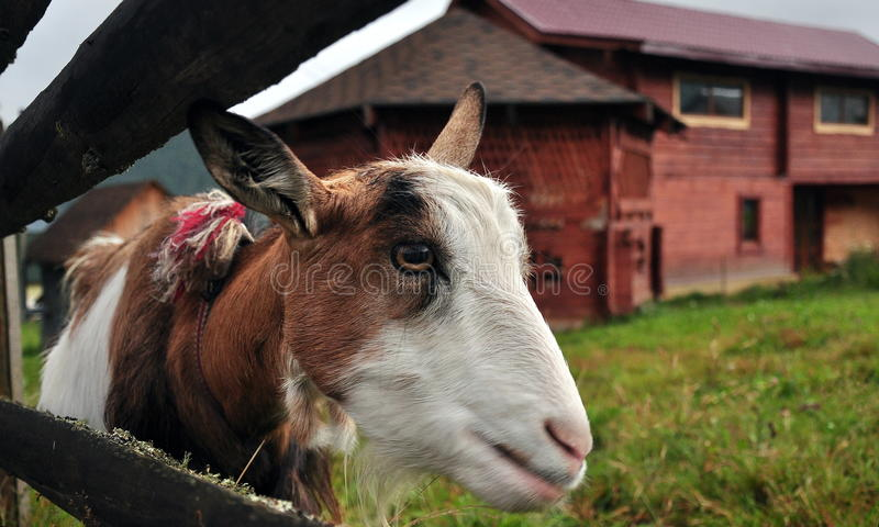 Goat portrait. Portrait of a goat in a rural yard, on farm stock images
