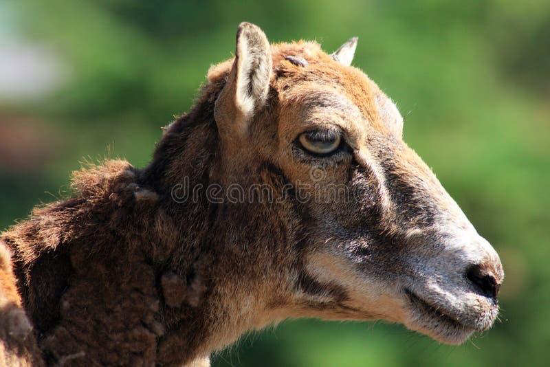 Goat Profile Royalty Free Stock Photography