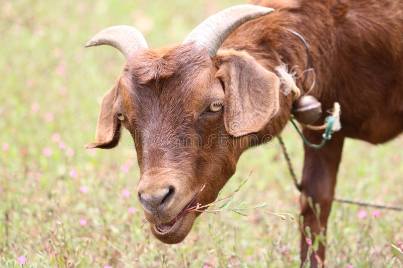 Goat raising on a fied rural area. Goat close-up stock photography