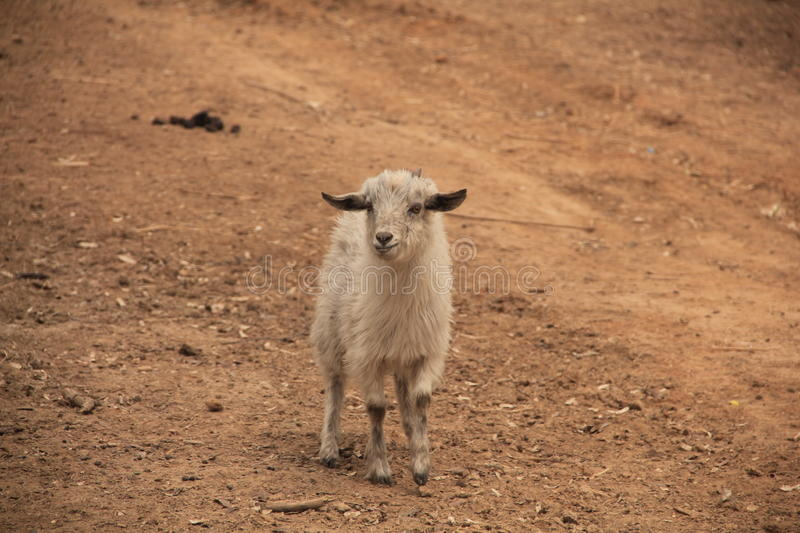 Download Goat stock photo. Image of developed, rearing, dynasty - 41581140