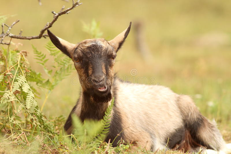 Download Goat relaxing in the grass stock image. Image of mammalian - 33457065