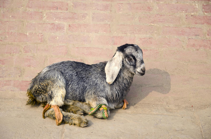 Goat rest on street pavement in India stock photo