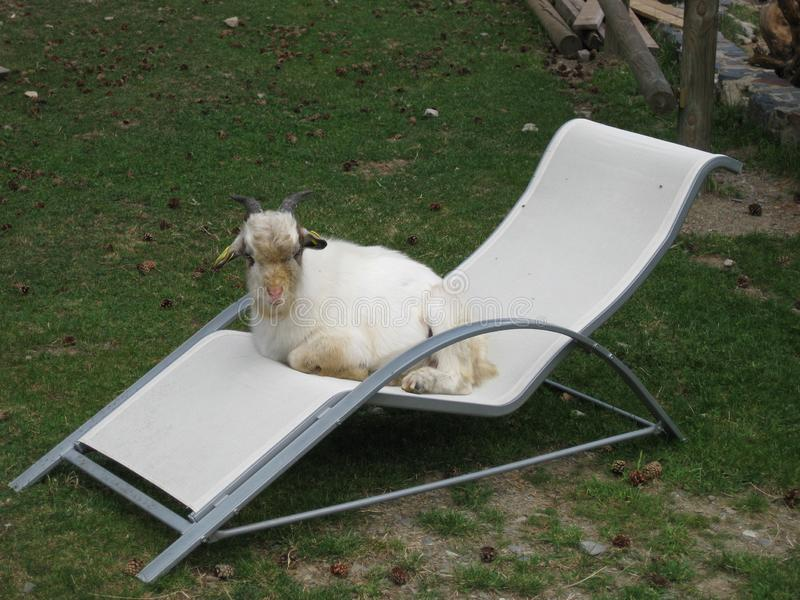 Goat rested after a long day with tourist stock photography