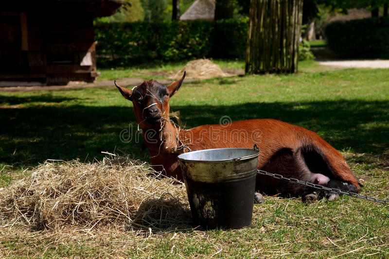 Goat resting in sun. Billy goat eating and resting in hay on sunny day in belgium royalty free stock images