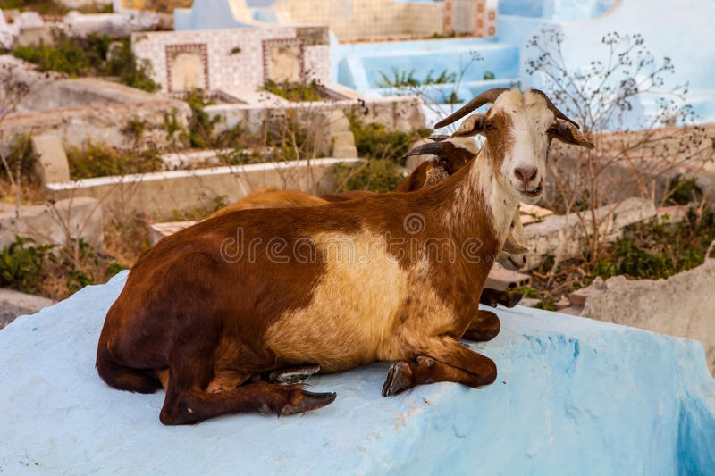 Goat resting on the tombstone, Tetouan, Morocco royalty free stock image