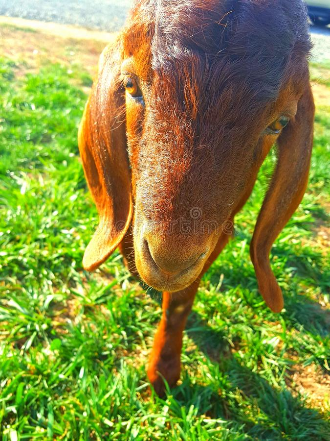 Goat selfie stock photos