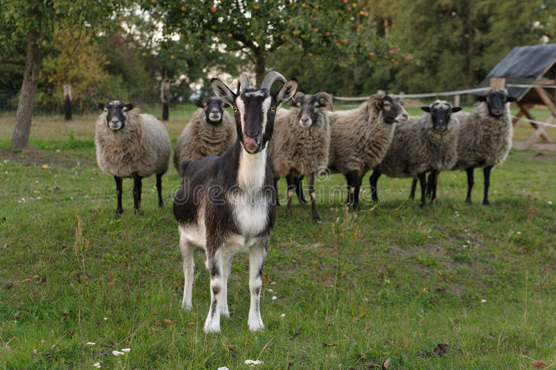 Download Goat and sheep stock photo. Image of horns, nature, horn - 26805626