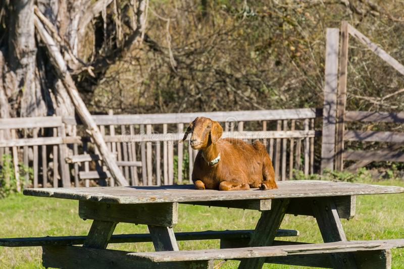 Goat sitting on a picnic table, Wilder Ranch State Park, California stock photos