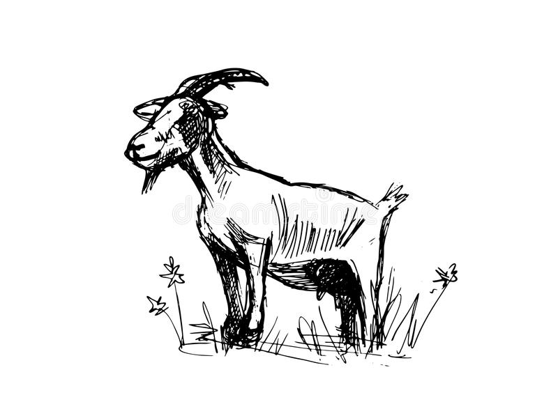 Goat sketch. Realistic line drawing of a nanny goat. Vector illustration. Black and white vector illustration