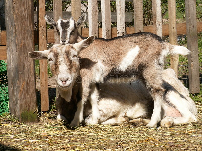 Goat a small child . Small Goat playing with mom. Cried out, posed for pictures royalty free stock images