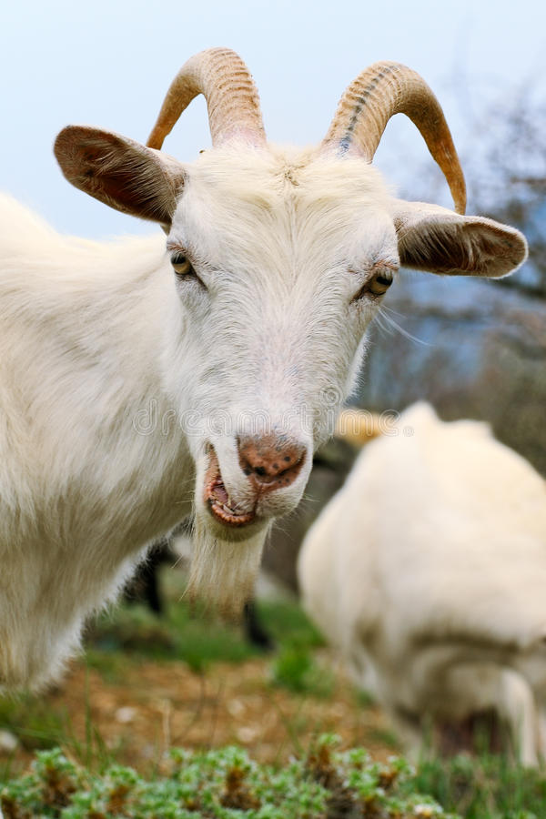 Goat with smirk royalty free stock images
