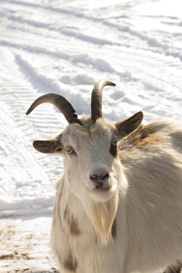 Download Goat in the snow stock image. Image of snow, mammal, hircus - 28994471