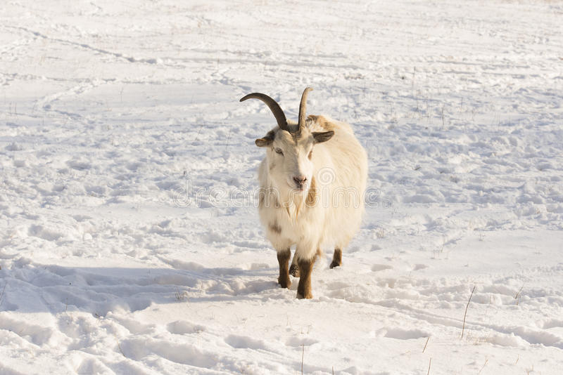 Download Goat in the snow stock photo. Image of snow, animal, mammal - 28994620