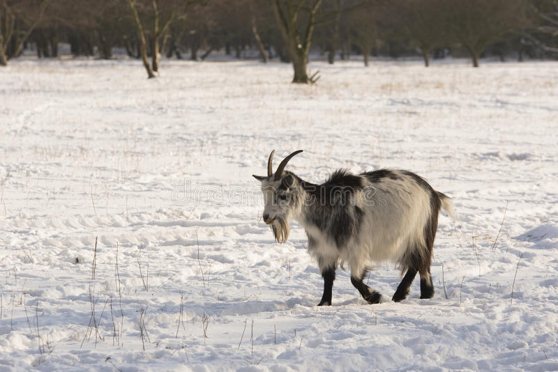 Download Goat in the snow stock image. Image of white, nature - 28994749