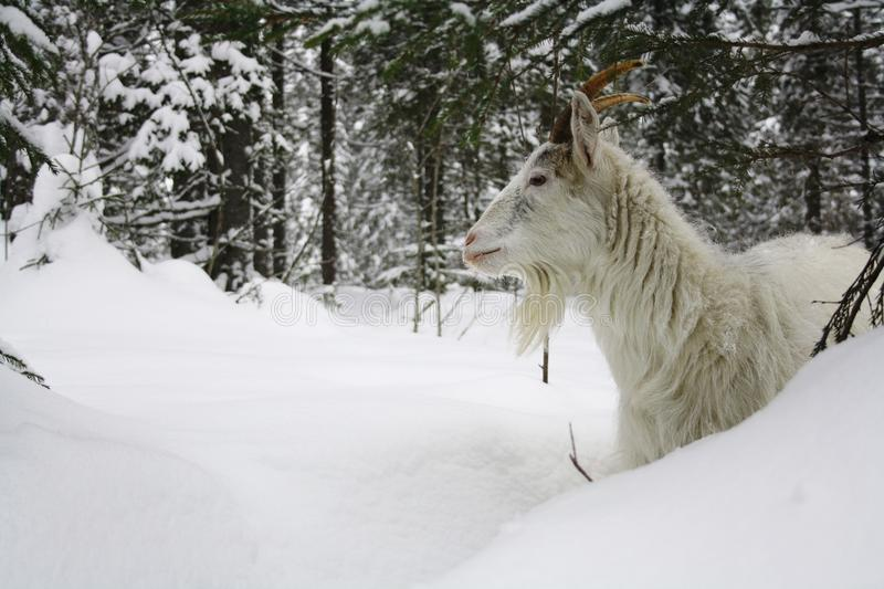 Goat in snow royalty free stock photography