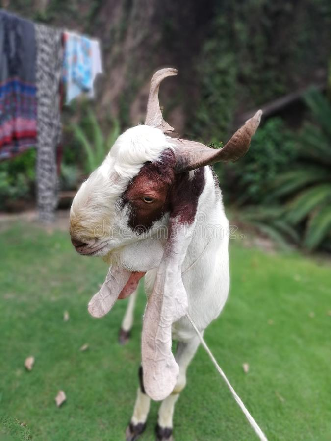 A goat with some action royalty free stock photo