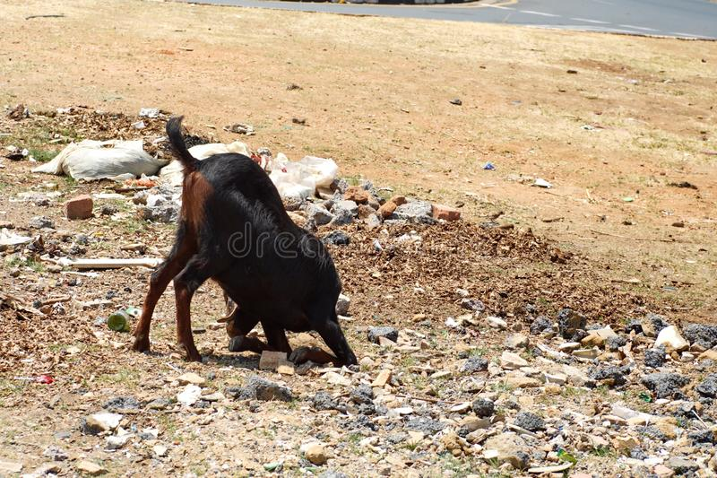 Goat in Soweto. Goat feeding on garbage in Soweto, south of Johannesburg, South Africa stock photos