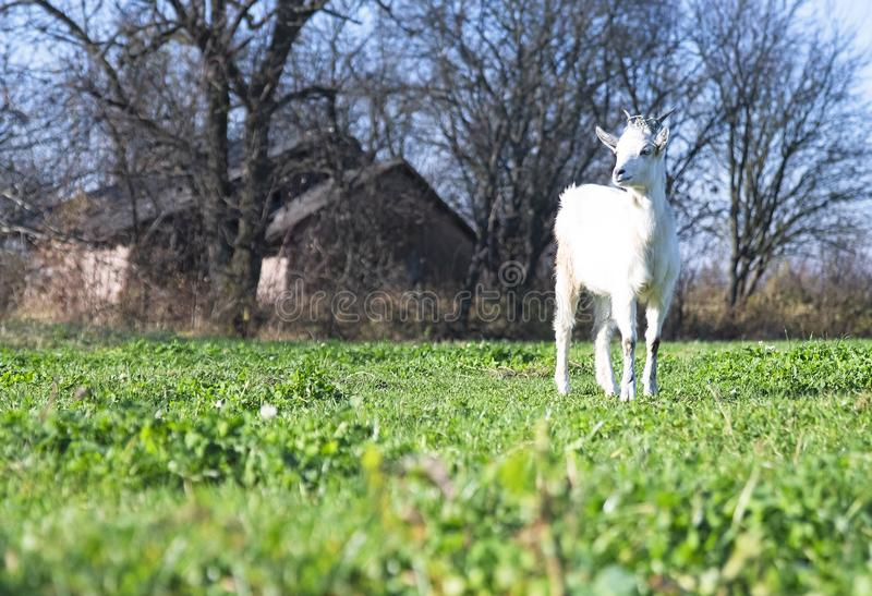 Goat standing stock image