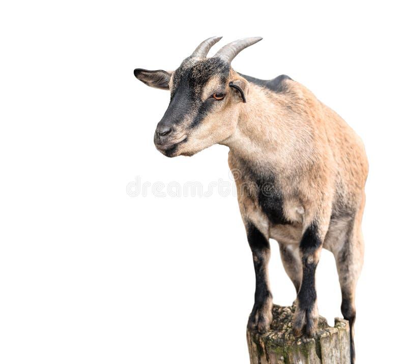 Goat standing full length isolated on white. Female goat on tree bark close up. Farm animals stock images