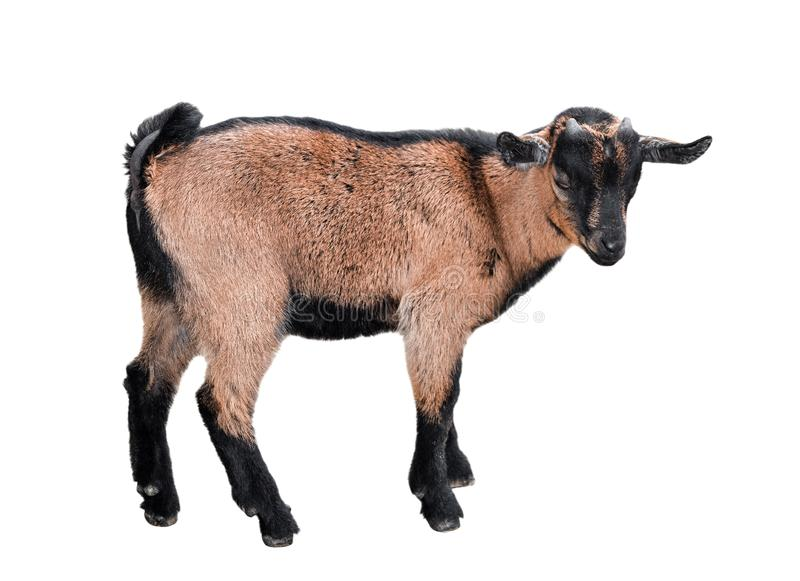 Goat standing full length isolated on white. Funny female kid close up. Farm animals royalty free stock photos