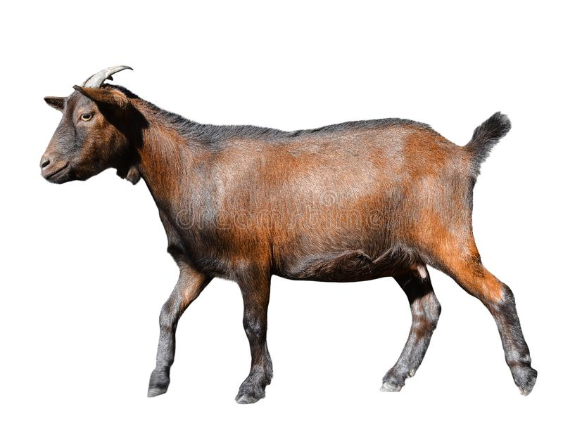 Goat standing full length isolated on white. Runnig funny female goat close up. Farm animals. royalty free stock photo