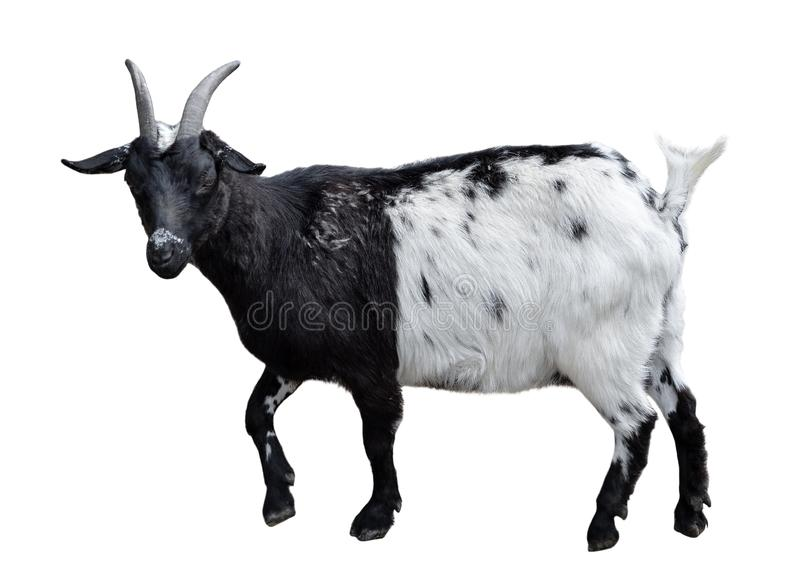 Goat standing full length isolated on white. Very funny white female goat close up royalty free stock image