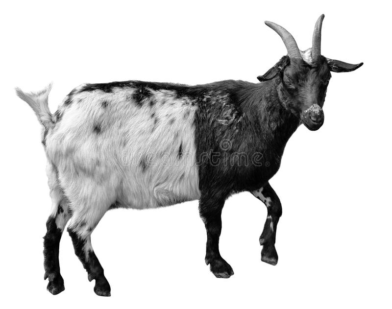 Goat standing full length isolated on white. Very funny white female goat close up royalty free stock photos
