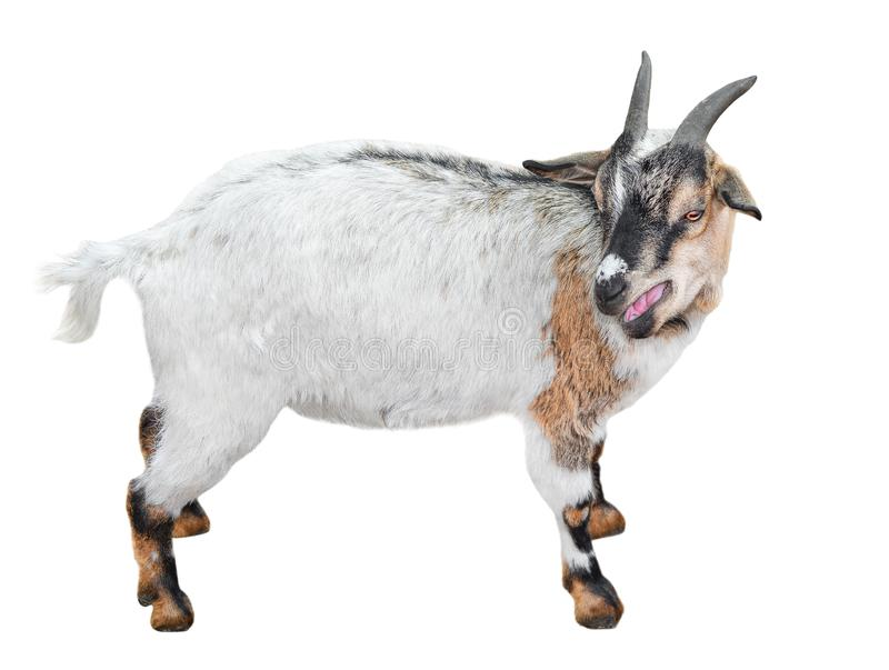 Goat standing full length isolated on white. Very funny white male goat close up. Farm animals. Goat talking to someone. royalty free stock photography