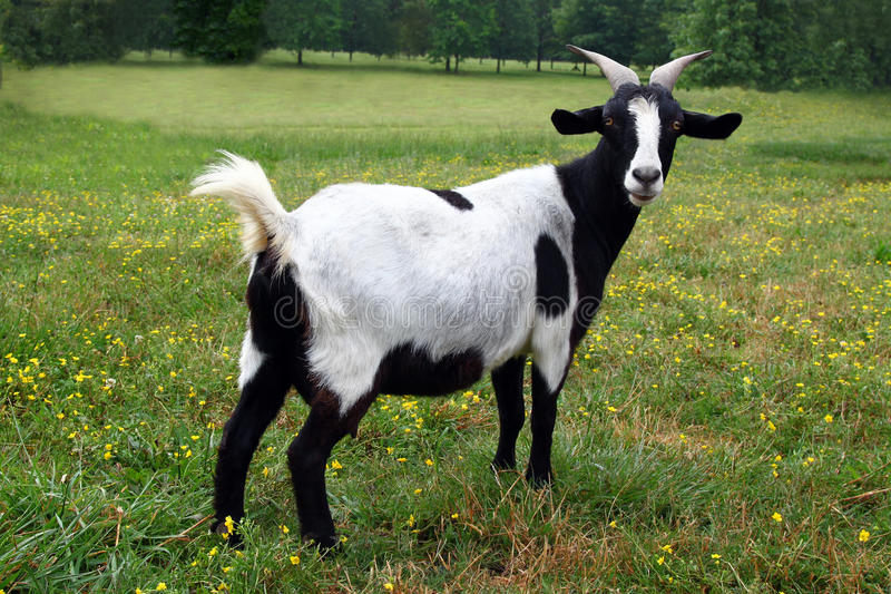 Goat standing on grass meadow. royalty free stock images