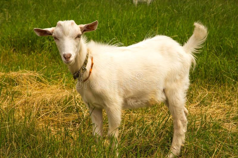 A goat is standing on a green meadow. royalty free stock photo